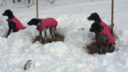 Dogs of euro hound or euro dog breed in warm vests sled dog racing Footage