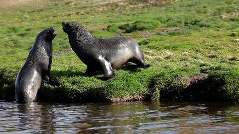 Fur Seal on South Georgia Isaland Stock Video Footage