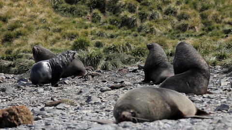 Fur Seal on South Georgia Isaland Live Action