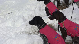 Dogs in warm vests before winter sled dog racing ビデオ