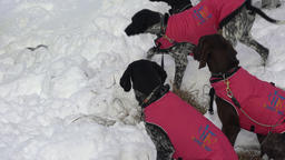 Dogs in warm vests before winter sled dog racing Stock Video Footage