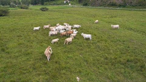 Aerial - Flight over landscape with running herd of cows on the open meadows Footage