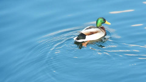 Ducks sit on the ice and swim in the river Stock Video Footage