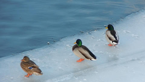 Ducks sit on the ice and swim in the river Footage