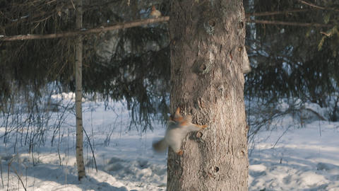 Squirrels frolic in the winter on a tree 003 ビデオ
