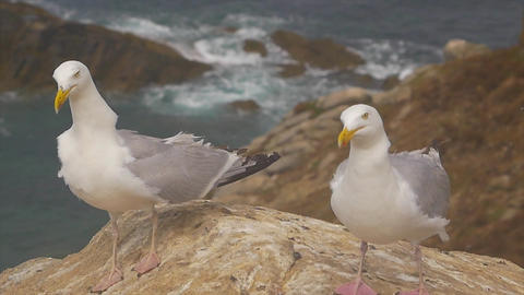Two Gull on a rock near the cliff and the ocean ビデオ