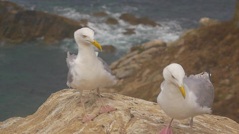 Two Gull on a rock near the cliff and the ocean Stock Video Footage
