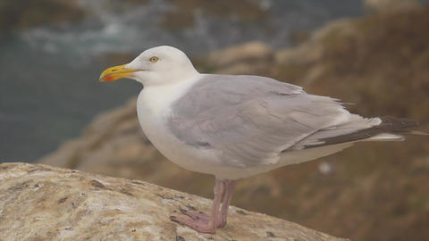 Gull on a rock near the cliff and the ocean Footage