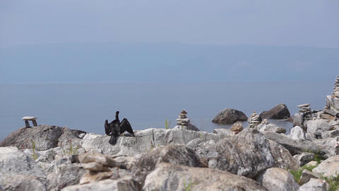 Black Cormorant sitting on stone and spreading wings... Stock Video Footage