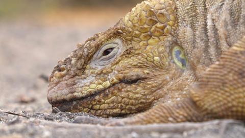 Galapagos Land Iguana - yellow land iguana in Urbina Bay, Isabela, Galapagos Live Action