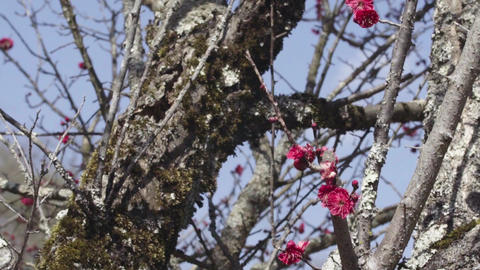Plum blossoms taken at the summit of the countryside in the spring Footage