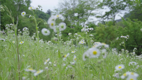 Walk in weeds where small white flowers bloom Live Action