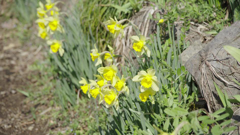 Narcissus flowers swaying in the spring wind blooming in the countryside Footage