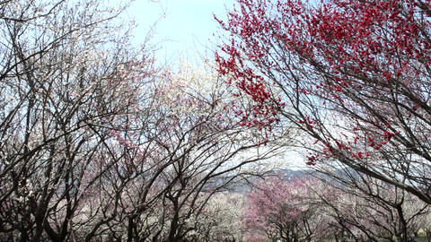 Spring in Japan.Red and white plum trees shakes in the wind ビデオ
