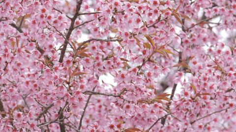 Pink Sakura flower bloom in spring season Live Action