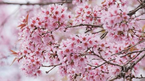 Cherry blossom Sakura in the wind Footage
