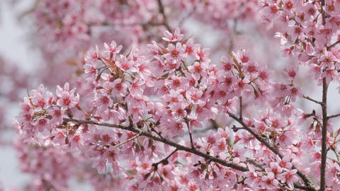 Sakura tree branch with pink flower petals in the park Footage