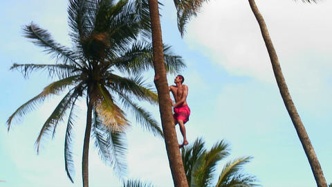 Hawaiian man climbing a palm tree quickly Live Action