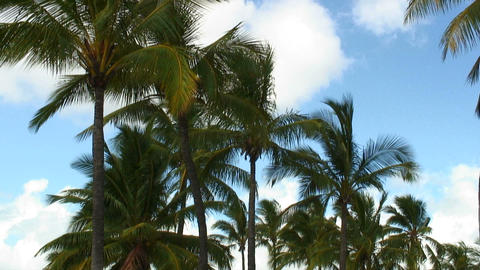 Group of palm trees swaying in the wind in Hawaii Footage