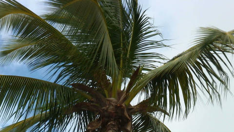 Top of a palm tree swaying in the wind in Hawaii Footage