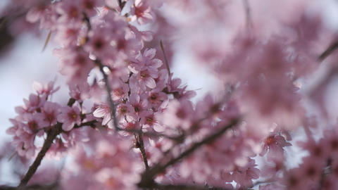 Cherry blossom Sakura springtime Footage