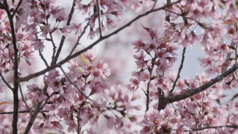 Springtime with Sakura cherry blossom tree Footage