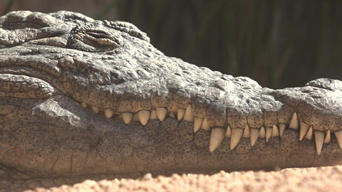 C0134 sharp teeth of crocodile or alligator Live Action