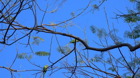 Green parrots on the branches Footage