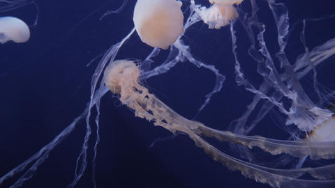 Jellyfish Move In The Water On A Blue Background Footage
