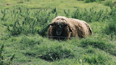 Furry Sheep In The Field Footage