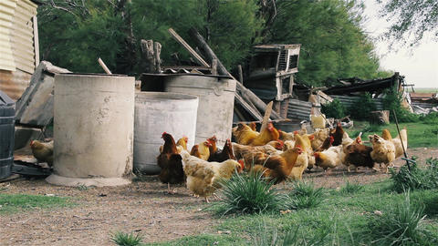 Chickens On The Farm Footage