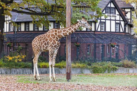 Reticulated giraffe (Giraffa reticulata) in the Berlin Zoo フォト