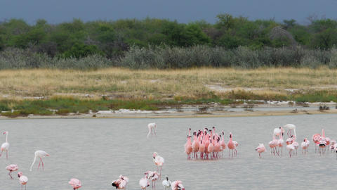 Greater pink flamingos dancing ritual in water Etosha... Stock Video Footage