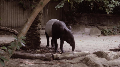 Nature wild life animal cute Malayan Tapir walking around Footage