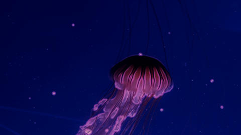 Red glowing jellyfish moving in the dark blue water ビデオ