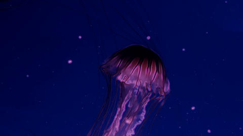 Red glowing jellyfish moving in the dark blue water Stock Video Footage