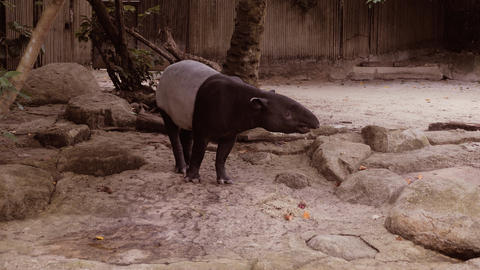 Nature wild life animal cute Malayan Tapir walking around Live Action