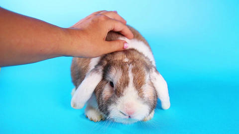 Lop Rabbit, pet,cuddle,cuddling cute animal video Footage