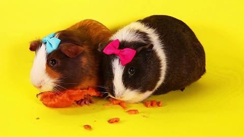 Guinea pig cavy guinea pigs eating carrot together Live Action