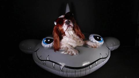 Dog wearing sunglasses cute cavalier king charles spaniel wear funny sunglasses Footage