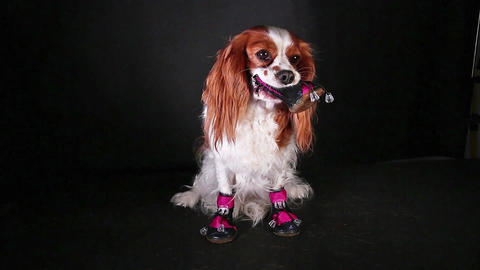 Dog with shoes dog shoe and cavalier king charles spaniel puppy Live Action