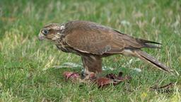 Saker falcon is eating meat. Falco cherrug. Bird of prey Live Action
