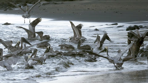 4K Incredible wildlife footage of Pelicans feeding off a beach in Costa Rica Live Action