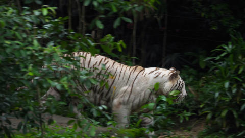 Gorgeous white tigress Live Action