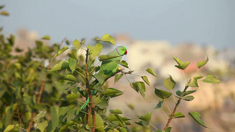 Rose-ringed Parakeet Footage