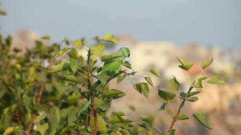 Rose-ringed Parakeet Stock Video Footage