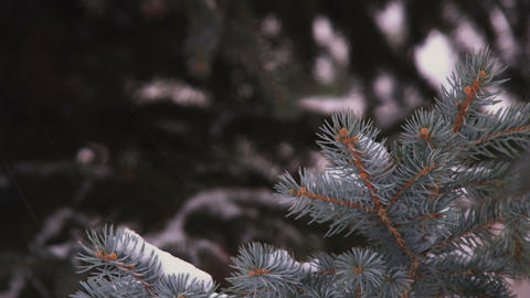 Racking focus footage of snow-covered evergreen branches Footage