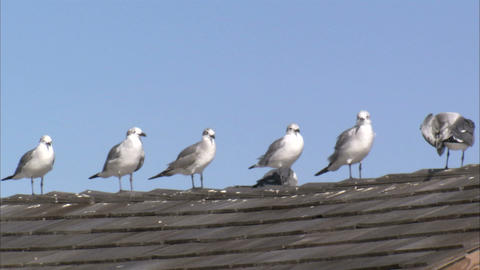 Seagulls standing in a row on a tiled roof Live Action