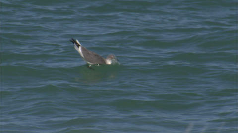 Seagull floating in the ocean Live Action