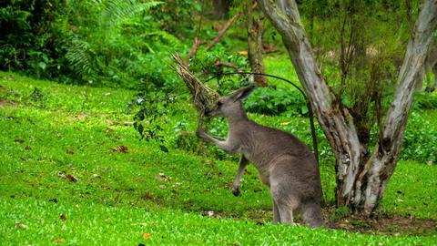 Kangaroo eating grass on a safari park Stock Video Footage